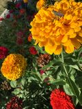 Saltamontes en las flores amarillas del zinnia Imágenes de archivo libres de regalías
