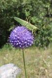 Saltamontes en una flor Imagen de archivo