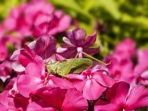 Saltamontes en una flor Foto de archivo libre de regalías