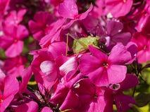 Saltamontes en una flor Fotos de archivo