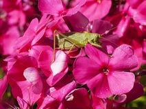 Saltamontes en una flor Fotos de archivo libres de regalías