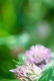 Saltamontes en una flor del trébol El verdor colorea imagen con el gran viridissima verde de Tettigonia del Bush-grillo Macro del Fotos de archivo libres de regalías