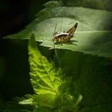 Saltamontes en una hoja verde Fotografía macra imagenes de archivo