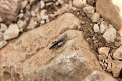 Saltamontes en una roca Imagen de archivo libre de regalías