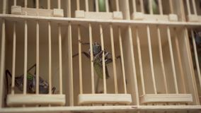 Saltamontes gigantes asiáticos del mercado de pulgas en una jaula almacen de metraje de vídeo