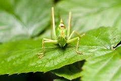 Saltamontes grande sobre la hoja verde que mira en macro Fotos de archivo