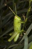 Saltamontes juvenil que oculta en la hierba Foto de archivo libre de regalías