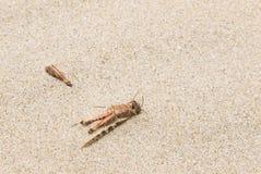 Saltamontes muerto en la arena imágenes de archivo libres de regalías