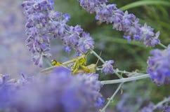Saltamontes que libran en uno a en las flores foto de archivo libre de regalías