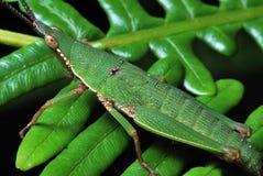 Saltamontes verde Fotografía de archivo