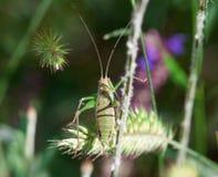 Saltamontes verde Foto de archivo