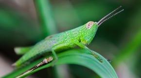 Saltamontes verde fotos de archivo