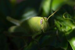 Saltamontes verde claro en una planta de la albahaca dulce en el jardín fotos de archivo