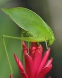 Saltamontes verde del katydid, bonito del pico, hondura Imagen de archivo