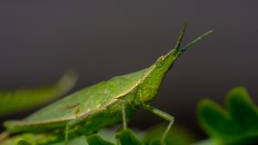 Saltamontes verde en la hoja verde foto de archivo