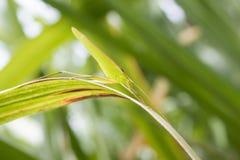 Saltamontes verde en las hojas del bastón Foto de archivo