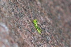Saltamontes verde en una roca Imágenes de archivo libres de regalías
