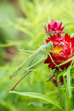 Saltamontes verde enorme en una flor roja Fotografía de archivo libre de regalías