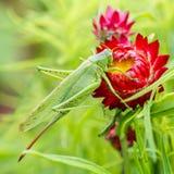 Saltamontes verde enorme en una flor roja Fotografía de archivo