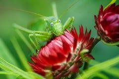 Saltamontes verde enorme en una flor roja Foto de archivo