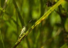 Saltamontes verde grande que se sienta en hierba verde Imagen de archivo