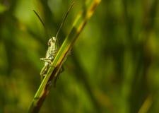 Saltamontes verde grande que se sienta en hierba verde Imágenes de archivo libres de regalías