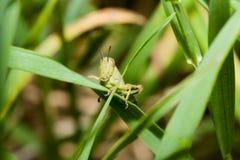 Saltamontes verde joven Foto de archivo libre de regalías