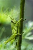 Saltamontes verde joven en la Florida Fotos de archivo