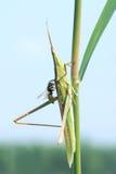 Saltamontes y abeja Fotografía de archivo libre de regalías