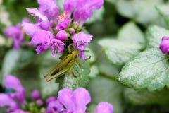 Saltamontes y flor púrpura Imagenes de archivo