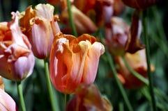Saltan los tulipanes anaranjados brillantes Fotos de archivo