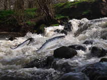 Saltando dai salmoni dell'acqua Fotografia Stock