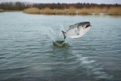 Saltando dal salmo dell'acqua Fotografia Stock Libera da Diritti