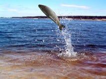 Saltando dalla trota dell'acqua Fotografia Stock Libera da Diritti