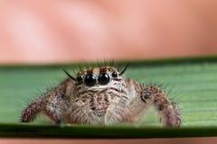 Saltando la araña en un cierre verde del extremo de la hoja para arriba, araña en Tailandia Fotografía de archivo