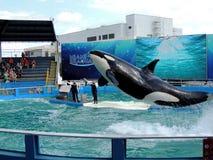 Saltando Lolita la orca foto de archivo