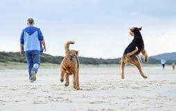 Saltando per l'uomo di gioia & i suoi cani che eseguono gioco sulla spiaggia di sabbia Immagine Stock