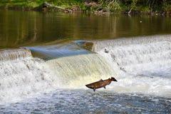Saltando sul fiume: Salmon Fall Migration Fotografia Stock Libera da Diritti