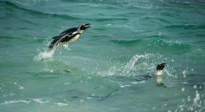 Saltar africano do pinguim da água fotografia de stock royalty free