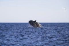 Saltar da baleia da água Imagens de Stock Royalty Free