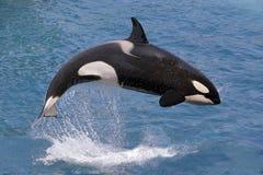 Saltar da baleia de assassino da água foto de stock