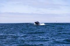 Saltar da baleia de corcunda (novaeangliae do Megaptera) da água na baía de Monterey, Califórnia foto de stock