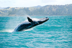 Saltar da baleia de Humpback da água Foto de Stock