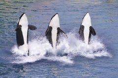 Saltar das baleias de assassino da água fotos de stock