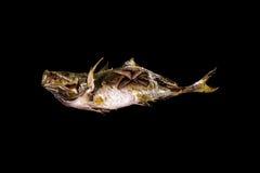 Saltar den japansk mat grillade fisken med Royaltyfri Fotografi