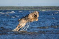 Saltar do cão da raça da mistura da água imagens de stock