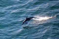 Saltar do golfinho da água foto de stock