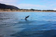Saltar do golfinho da água no oceano perto da praia imagens de stock royalty free