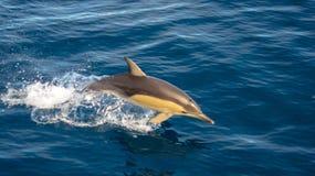 Saltar do golfinho da água, tendo o divertimento no sol imagem de stock royalty free