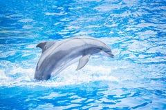 Saltar do golfinho de Bottlenose da água fotografia de stock royalty free